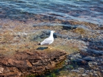 Seagull by Sea