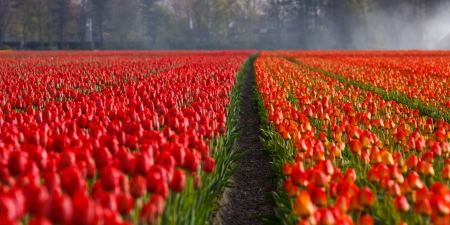 Field of tulips - red, pretty, rural, farming, tulips, nature
