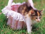 Baskets Out Calico Kitten