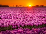 Field of Pink Tulips at Sunset