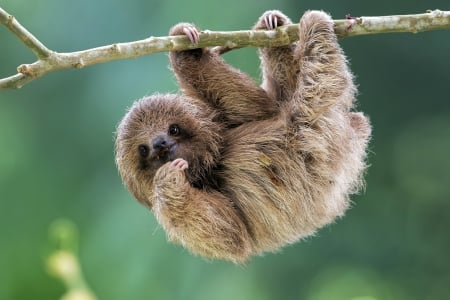 young sloth other animals background wallpapers on desktop nexus