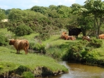 Highland cattle and cows