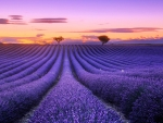 Lavender Field in Tuscanny