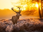 Stag in Sunset