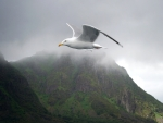 Seagull in Lofoten, Norway