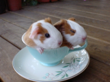 CUP FULL OF GUINEA PIGS - CUTE, TWO, ANIMALS, IMAGE