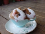 CUP FULL OF GUINEA PIGS