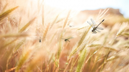 Dragonflies in Wheat - Firefox theme, autumn, harvest, grass, wheat, bugs, dragonflies, summer, insects