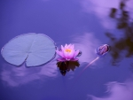 Water lily in purple