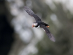 Flying Atlantic Puffin