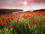 Bayside Red Poppy Field in Summer