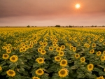Sunflower Field at Sunset