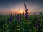 Meadow with Lupines at Sunrise