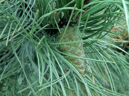 Green Pine Cone - Forest, Green, Photography, Pine Cone, Pine one, Nature
