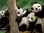 Group Baby Panda Bears Picture