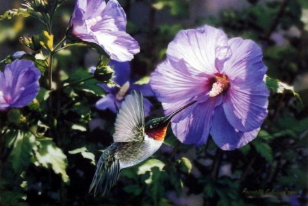 Hummin' Along - hibiscus, flowers, hummingbird, blossoms, artwork