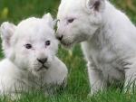 White Baby Lion Cubs