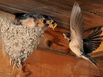 Barn Swallows at Nest