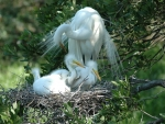 White Herons in Nest