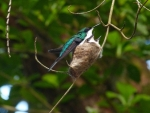 Hummingbirds on Nest