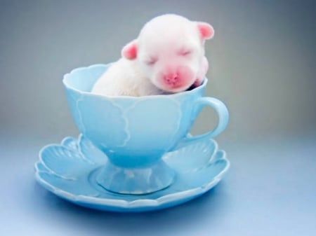 Teacup Pup Dogs Animals Background Wallpapers On Desktop