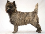 Scottish Dog Breeds - Cairn Terrier