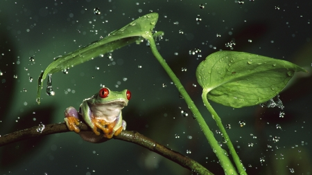 Little Frog - raindrops, leaves, eyes, resting, water