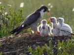 Peregrine Falcon and Chicks