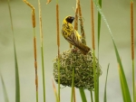 Bird Weaving a Nest