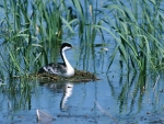 Western Grebe in Nest