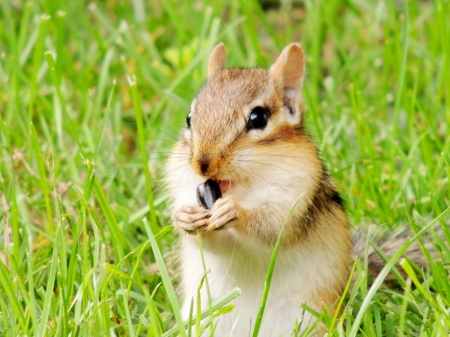 Nibbling On A Sunflower Seed - Summer, Chipmunk, Grass, Animal, Photography, Sunflower Seed