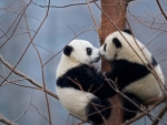 Giant Panda Cubs In The Wolong National Nature Reserve China