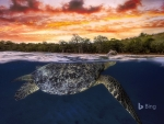 Green sea turtle at dusk Mayotte Indian Ocean