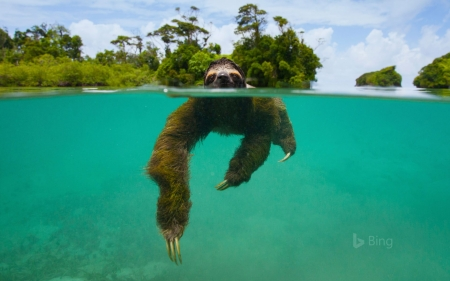 the pygmy three toed sloth swimming other animals background