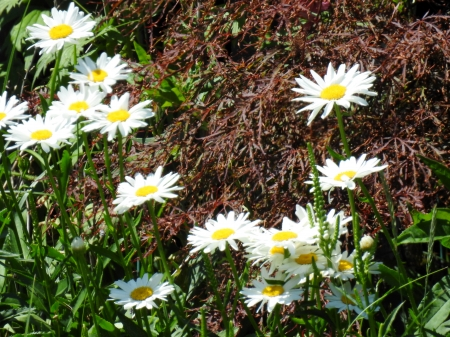 Daisy Garden - Garden, Summer, Photography, Flowers, Daisies, Nature