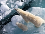 Polar Bear Mom and Young Cub