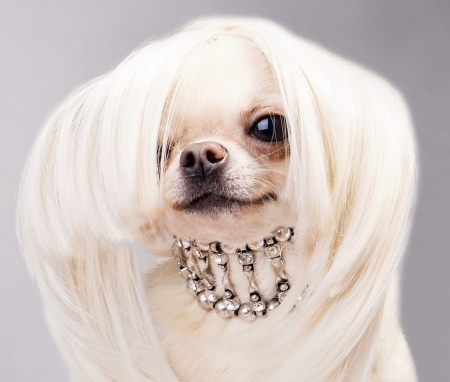 :-) - hair, chihuahua, jewel, face, funny, white, puppy, dog