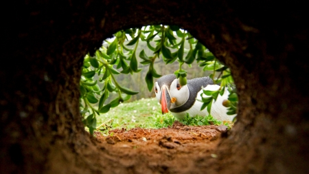 Hello? Anybody here? - cute, hole, bird, nest, pasare, puffin, funny, situation