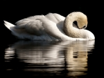 White Swan and its Reflection on the Water