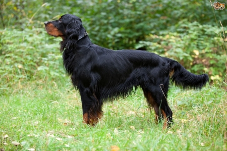 Scottish Dog Breeds - Gordon Setter - Scottish Dog Breeds, Scotland, Gordon Setter, Scottish Dogs
