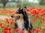 Collie in Flowerfield