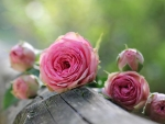 Pinks Roses on Wood