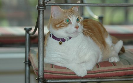 Magnificent Golden Creature, Jose Cuervo - Waiting to be fed - male, orange, white, cat, american shorthair