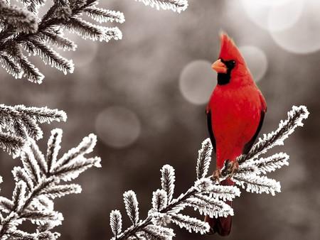 Red Bird - cool, red bird
