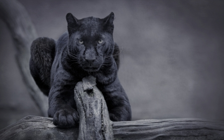 Black Panther Cats Animals Background Wallpapers On