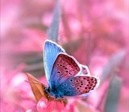 Pink Blue Butterflies Butterflies Animals Background Wallpapers On Desktop Nexus Image 2400187