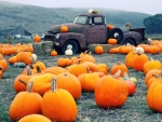 Truck And Pumpkins Field