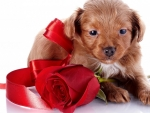 Puppy With Red Rose