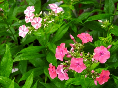 Mixed Phlox Garden - Mixed Phlox, Garden, Summer, Photography, Flowers, Nature