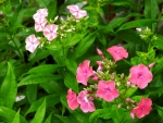 Mixed Phlox Garden